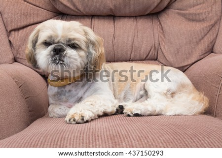 small dog is on retro armchair