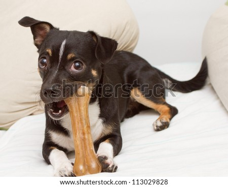 Small dog is playing with fake bone