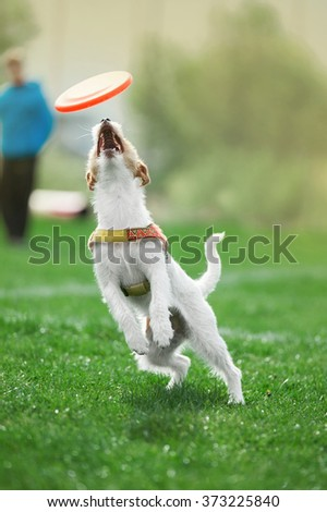small dog jumps to catch the plastic disk