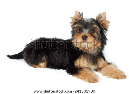 Small dog lies on white. Puppy of the Yorkshire Terrier - stock photo