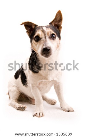 small dog on white background