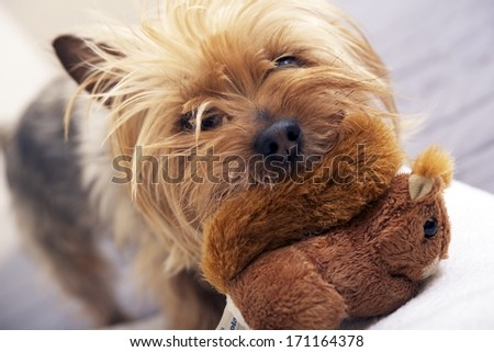 Small Dog Play with Plushy Toy. Four Years Old Australian Silky Terrier. Pets Photo Collection - stock photo