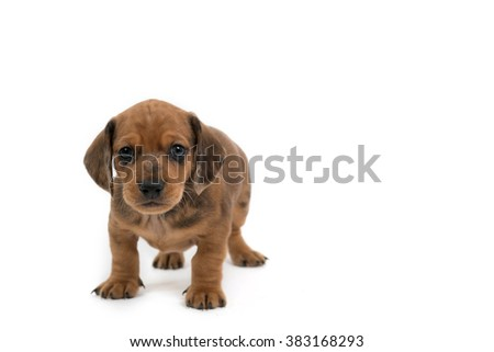 Small dog puppy breed Dachshund 1 month