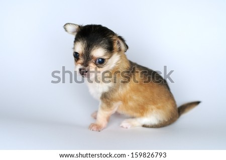 small dog puppy brown chihuahua from the side is sitting