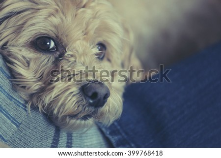 Small dog resting it's head on the legs of a man. - stock photo