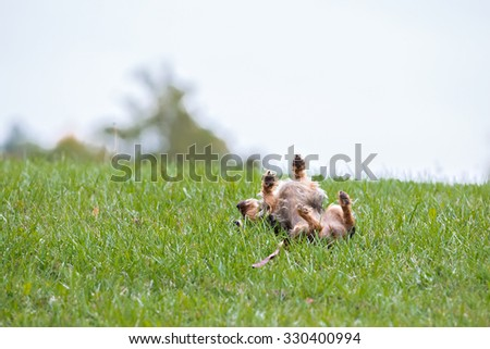 Small dog rolling in the grass - stock photo