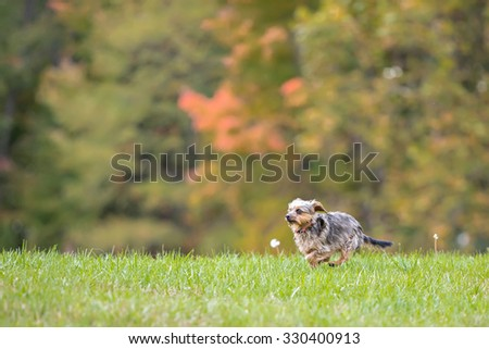 Small dog running in a field