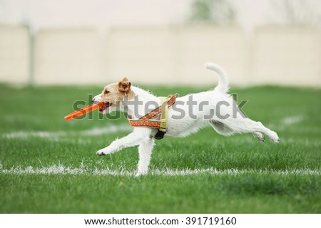 small dog running with disk in its mouth - stock photo
