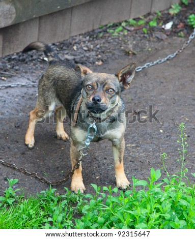 Small dog tied to a chain - stock photo