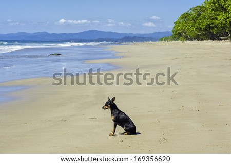 Small dog waiting patiently for his master on the beach. - stock photo