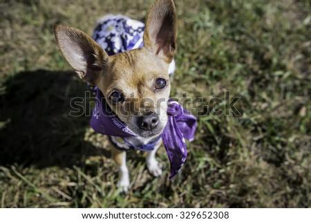 Small dog wearing a dress - stock photo