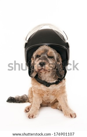 Small dog wearing a scooter helmet, isolated on white