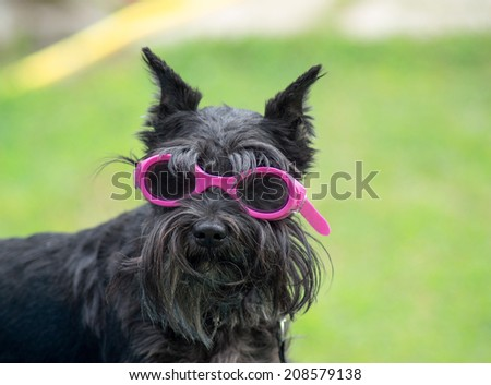 Small dog with glasses for swimming - stock photo