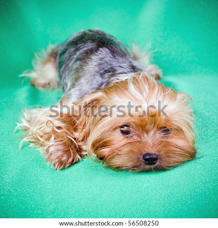 Small Dog Yorkshire Terrier on green background - stock photo