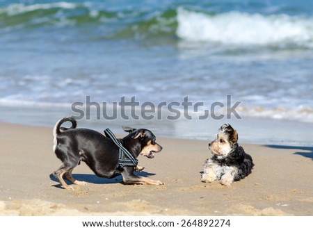 Small dogs playing on the beach - stock photo