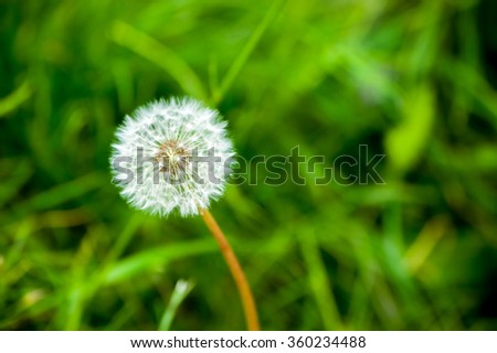 Small downy dandelion on to meadow - stock photo