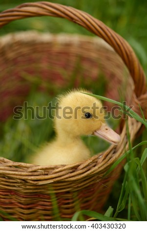 Small duckling outdoor on green grass - stock photo