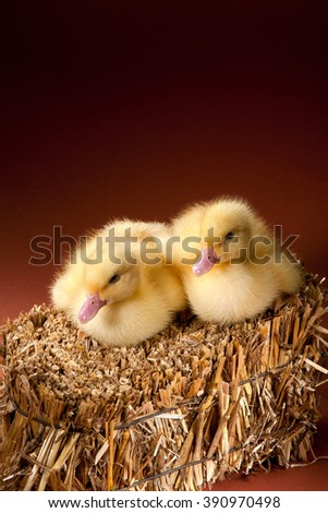 Small ducklings