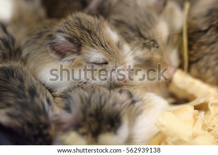 small dzungarian hamsters are sleeping and resting