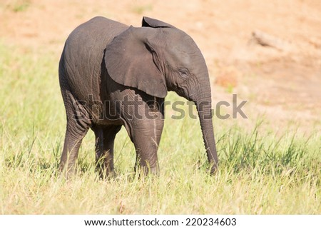 Small elephant calf play in long green grass and having a lot of fun
