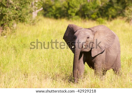 Small elephant calf walking in the nature reserve in South Africa