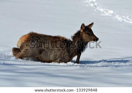 Small Elk struggling in deep snow - stock photo