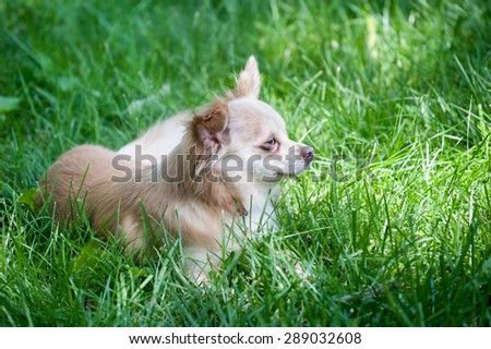 Small family pet dog chihuahua papillon mix lies contentedly in the tall grass - stock photo