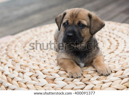 Small Fawn Colored Puppy Relaxing on Woven Ottoman