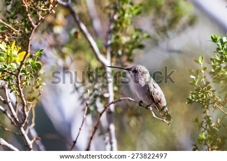 small female Anna's Hummingbird - Calypte anna - perched on a small branch in the California desert