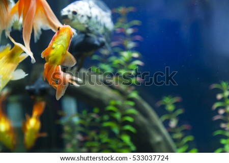Small fishes in an aquarium swim one after another