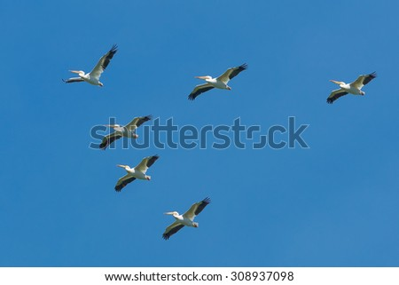 Small flock of American White Pelicans flying across the clear blue sky. - stock photo