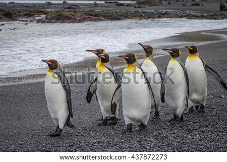Small flock of emperor penguins walking on beach