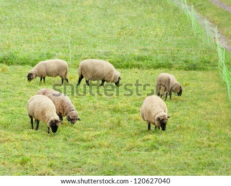 Small flock of sheep grazing in a pasture - stock photo
