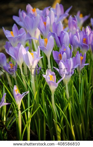 small flowers of crocus close-up  - stock photo
