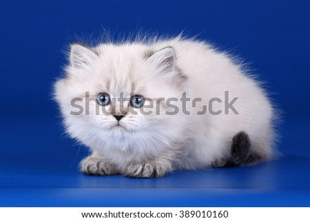 Small fluffy kitten on a blue background - stock photo