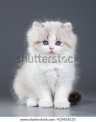 Small fluffy kitten on a gray background