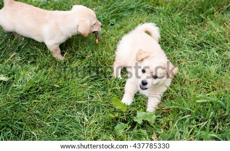 Small Fluffy Puppy Playing Outside on Green Grass - stock photo