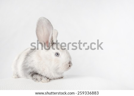 Small fluffy rabbit white