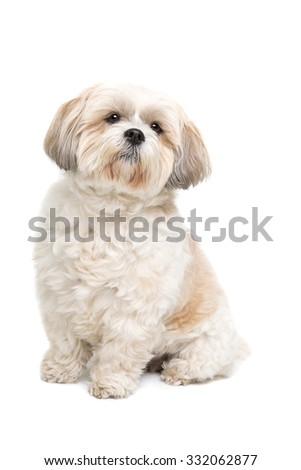 small fluffy white dog in front of a white background