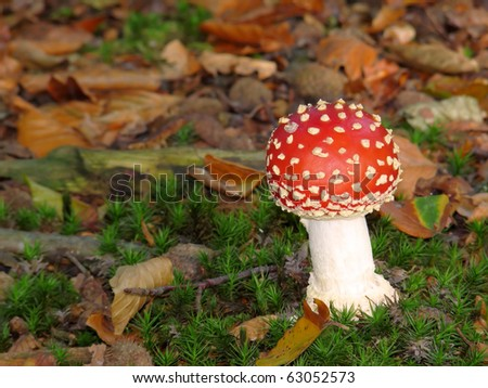 Small Fly Agaric on forest soil (Amanita muscaria)