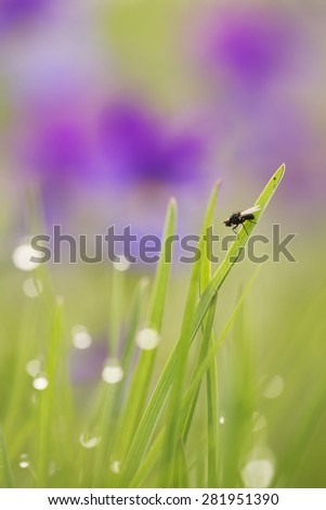 Small fly resting on grass, early morning, heartseases in the background, photographed with shallow depth of field - stock photo