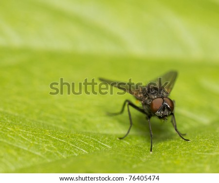 small fly with red eyes on a green leaf
