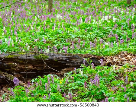 Small Flycatcher perched on an old log mkrom among lawns blooming spring Corydalis Haller