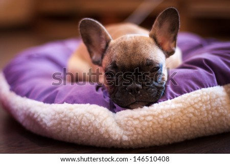 small French bulldog, puppy - stock photo