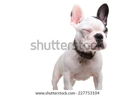 small french bulldog standing with eyes closed on white background - stock photo