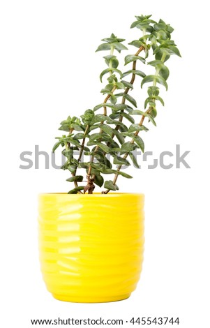 Small fresh green succulent in a little yellow pot isolated on white background - stock photo