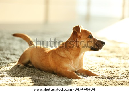 Small funny cute dog in light room - stock photo