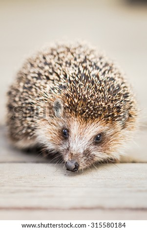 Small Funny Hedgehog Standing On Wooden Floor - stock photo