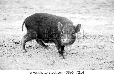 small, funny pig running through the past looked into the camera lens. - stock photo