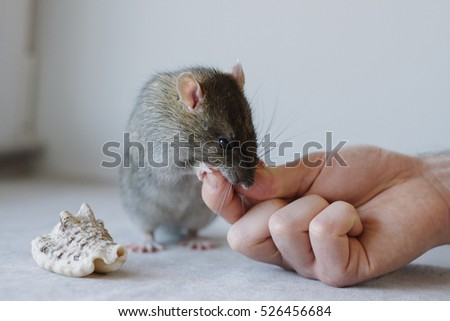 Small funny rat taking food from the human hand